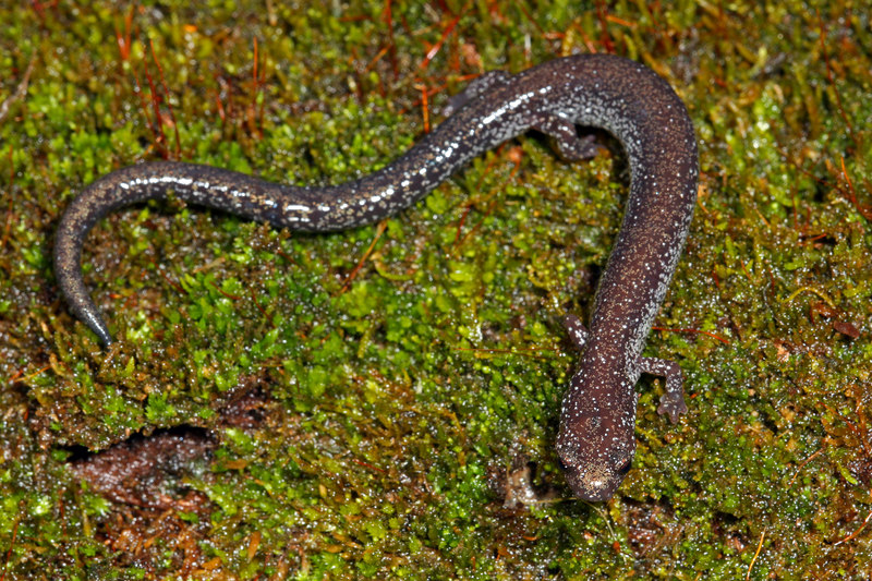 Northern Ravine salamander (Plethodon electromorphus) found on the hillside above the stream where the Streamside Salamander was found; Jefferson Co, IN