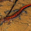Northern Zigzag Salamander (Plethodon dorsalis); Jefferson Co, IN