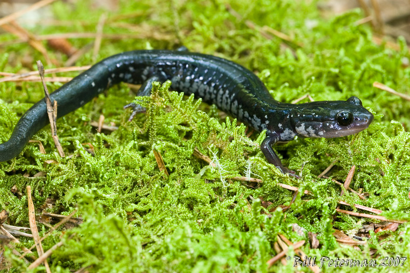 Plethodon chattahoochee (Chattahoochee Slimy Salamander); Union Co., GA