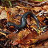 Looking around in the higher elevation forests I found this Jordon's Salamander (Plethodon jordani); Sevier Co., TN