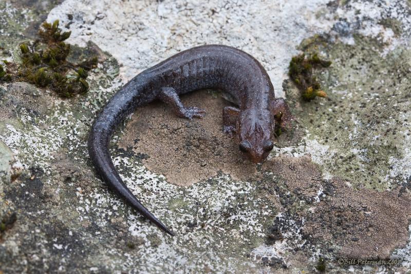 Southern Zigzag Salamander (Plethodon ventralis) from Pigeon Mountain, GA