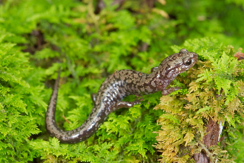 Weller's Salamander (Plethodon welleri); Mitchell Co., NC