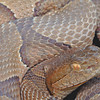 Osage Copperhead (Agkistrodon contortrix phaeogaster); Montgomery Co, MO