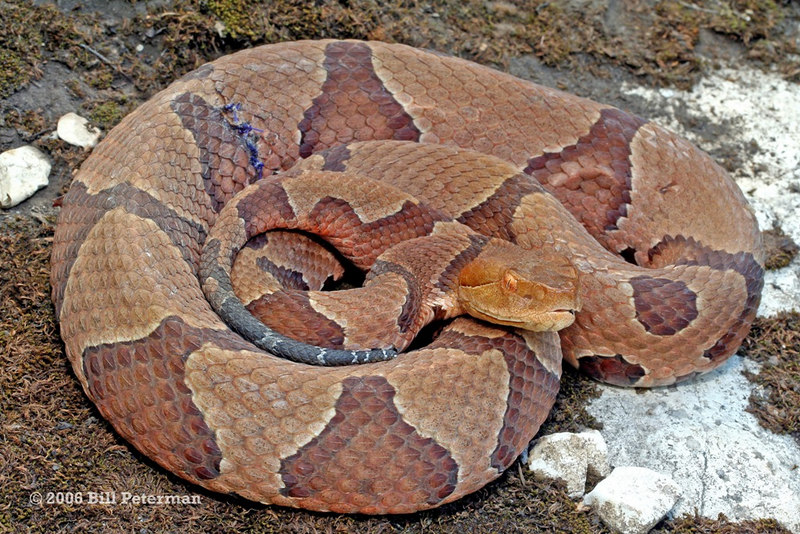 Agistrodon contortrix phaeogaster (Osage Copperhead); St. Louis Co, MO.  Note the stitches on the side.  I assume that this animal is part of a radio telemetry study and has a radio transmitter implanted within it.