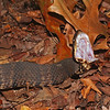 Agkistrodon piscivorous leucostoma (Western Cottonmouth) found basking on bluffs at Mingo; Wayne Co, MO