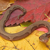 Agkistrodon contortrix phaeogaster (Osage Copperhead): a neonate with an aberrant pattern; Warrern Co, MO