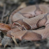 Osage Copperhead (Agkistrodon contortrix phaeogaster); Boone Co, MO