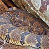 Crotalus horridus (Timber Rattlesnake) found 23  April; Madison Co, MO