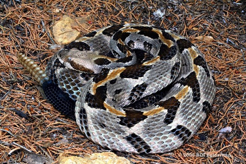 Crotalus horridus (Timber Rattlesnake); St. Louis Co, MO