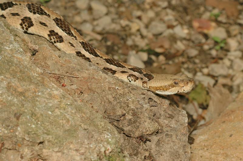 Crotalus horridus (Timber Rattlesnake) found 22  April; Wayne Co, MO