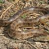 Prairie Kingsnake (Lampropeltis calligaster calligaster) 22 April; Montgomery Co, MO.