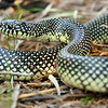 Lampropeltis getula holbrooki (Speckled Kingsnake) found 23  April; Madison Co, MO