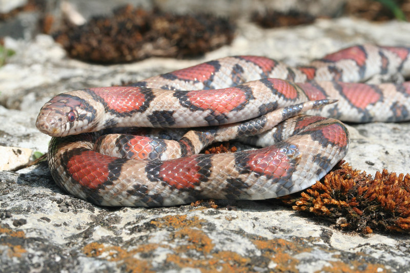Red Milk Snake (Lampropeltis triangulum syspila) found 19 April 2006; Montgomery Co, MO