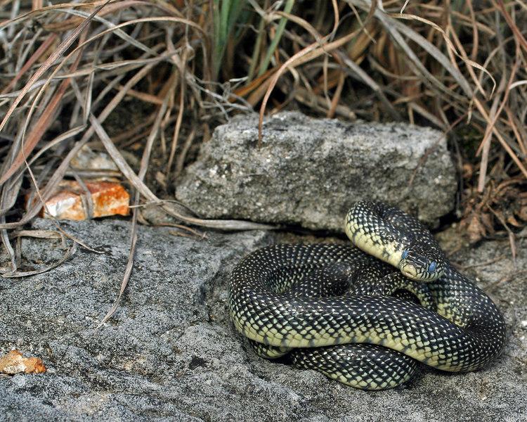 Lampropeltis getula holbrooki (Speckled Kingsnake); Camden Co, MO