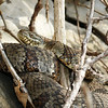 Northern Water Snake (Nerodia sipedon sipedon) about 7 ft up on a ledge.