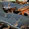 Nerodia fasciata confluens (Broad-Banded Water Snake); Wayne Co, MO