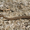 Storeria dekayi wrightorum (Midland brown snake)