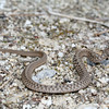 Midland Brown Snake crossing trail (Storeria dekayi wrightorum)