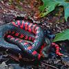 Farancia abacura reinwardtii (Western Mud Snake).  Found crossing a road at Mingo Wildlife Refuge; Wayne Co, MO