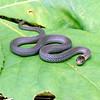 Storeria occipitomaculata (Redbelly Snake); Oconee Co; SC