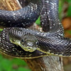 Elaphe obsoleta (Black Rat Snake); Macon Co, NC