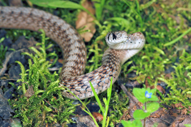 Storeria dekayi wrightorum (Midland Brown Snake) found 22  April; Wayne Co, MO