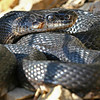Black Ratsnake (Elaphe obsoleta) found in Boone Co; 2-28-07