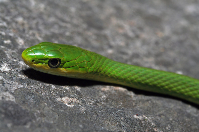 Opheodrys aestivus (Rough Green Snake) found crawling across a trail while running; Boone Co, MO