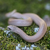 Smooth Earth Snake (Virginia valeriae elegans) from Pine Hills, Union Co, Ill.