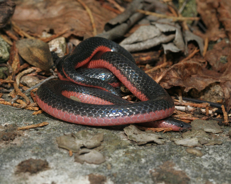 Carphophis vermis (Western Worm Snake); Boone Co, MO
