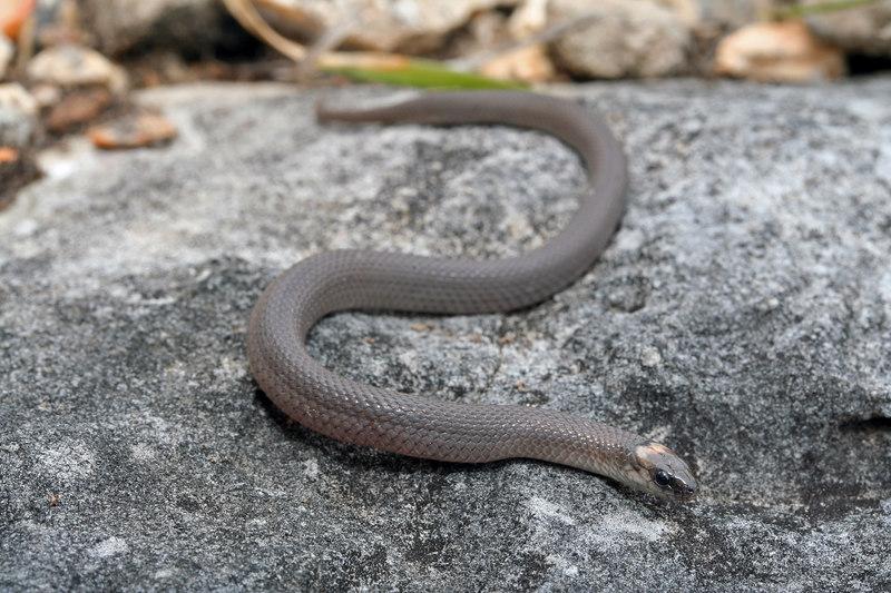 Virginia striatula (Rough Earth Snake); Camden Co, MO