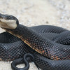 Black Rat Snake (Elaphe obsoleta)