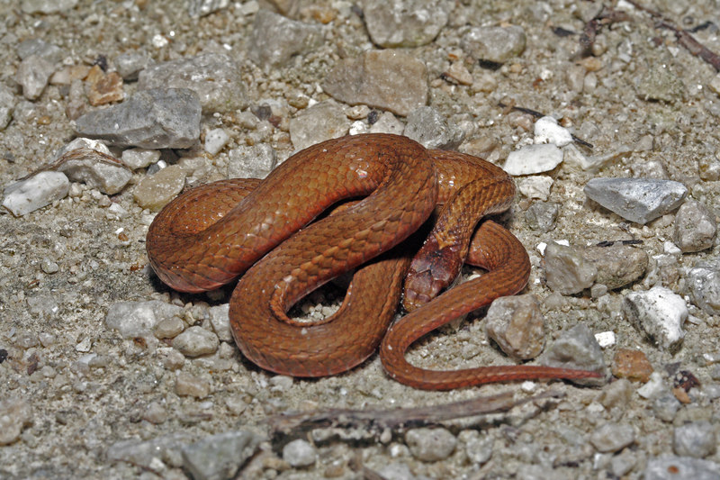 Storeria o. occipitomaculata (Redbelly Snake)--Red Phase; Boone Co, MO