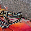 Thamnophis proximus (Western Ribbon Snake); Boone Co, MO