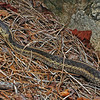 Thamnophis sirtalis (Eastern Garter Snake); Macon Co, NC.  This snake is about to shed and is gravid.