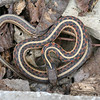 Juvenile red-sided garter (Thamnophis sirtalis parietalis), found under rock.