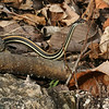 Western Ribbon Snake (Thamnophis proximus proximus) near den site