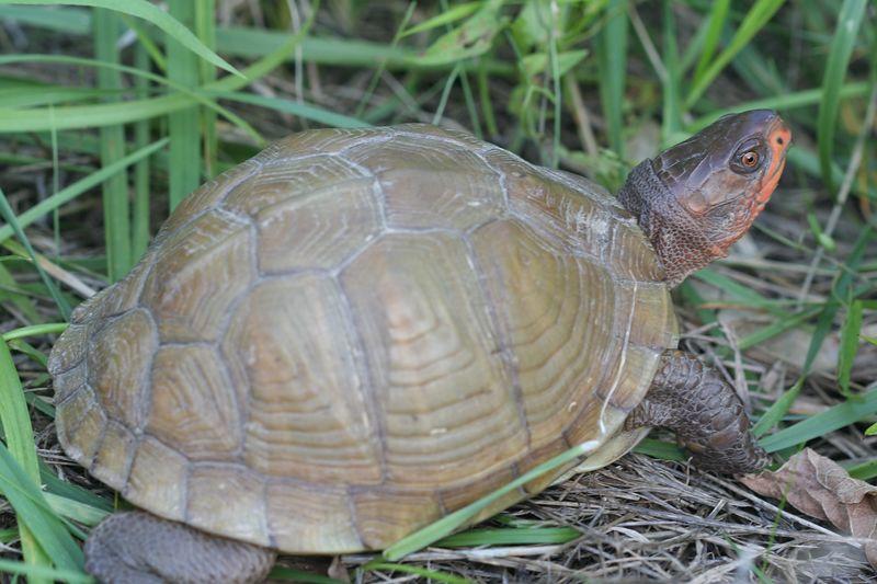 Three-Toed Box Turtle (Missouri)