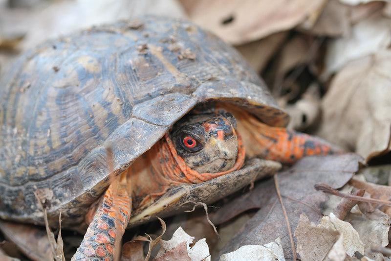 Eastern Box Turtle (Terrepene carolina); Johnson Co; Ill