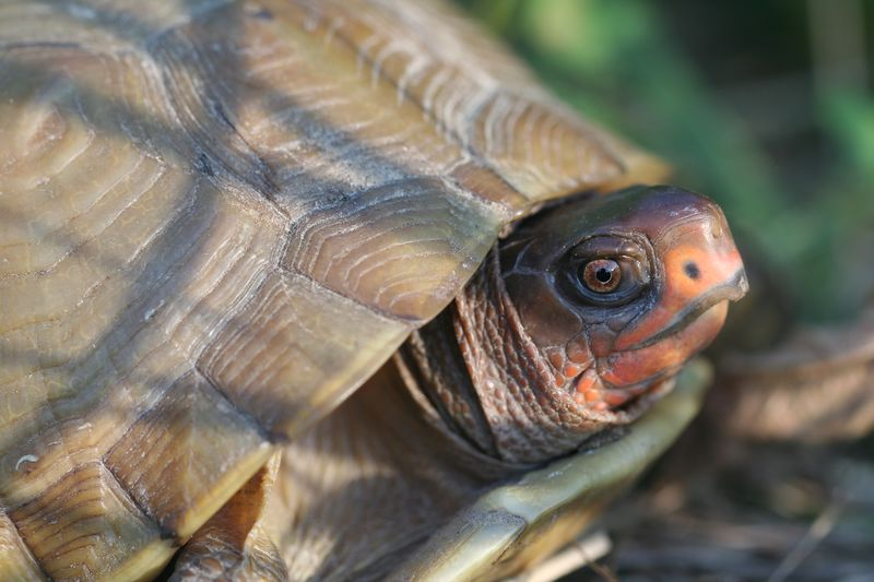 Three-Toed Box Turtle (Missouri)