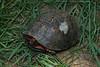 Male Eastern Box Turtle (Terrepene carolina) with an old injury; Macon Co, NC