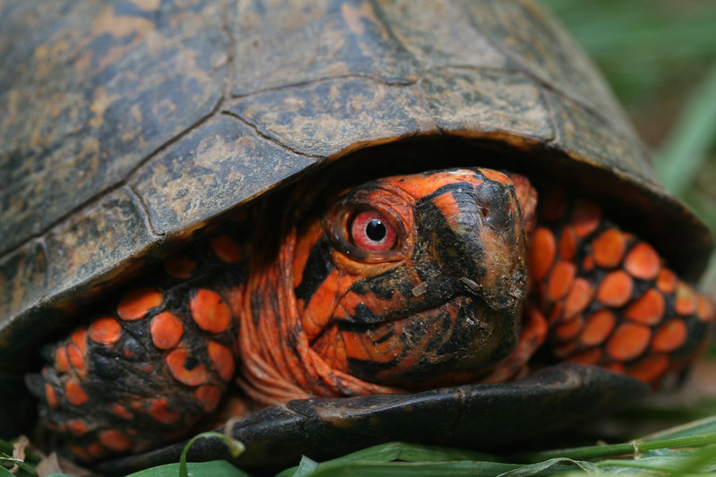 Male Eastern Box Turtle (Terrepene carolina); Macon Co, NC