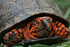 Male Eastern Box Turtle (Terrepene carolina); Macon Co, NC