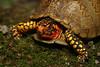 Male Three-Toed Box Turtle (Terrepene carolina triunguis); Montgomery Co, MO