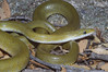 EEB Colubroidae Colubridae<br /> Senticolis triaspis intermedia<br /> Green Ratsnake<br /> Santa Cruz County<br /> 2012