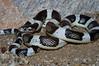 EEB Colubroidae Colubridae<br /> Rhinocheilus lecontei lecontei<br /> Western Longnose Snake<br /> Pima County<br /> 2012