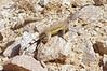 DA Iguania Iguanidae Phrynosomatidae<br /> Callisaurus draconoides ventralis<br /> Eastern Zebra Tailed Lizard<br /> Pima County<br /> 2012