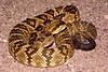 EL Colubroidea Viperidae Crotalinae<br /> Crotalus molossus molossus<br /> Black Tailed Rattlesnake<br /> Santa Cruz County