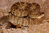 EL Colubroidea Viperidae Crotalinae<br /> Crotalus molossus molossus<br /> Black Tailed Rattlesnake<br /> Pima County