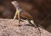 DA Iguania Iguanidae Phrynosomatidae<br /> Cophosaurus texanus scitulus<br /> Chiihuahuan Greater Earless Lizard<br /> Pima County